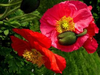 Собирать пазл Цветы и бутон онлайн