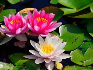 Собирать пазл Цветы лотоса онлайн