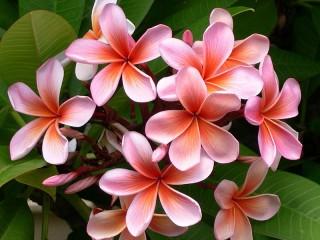 Собирать пазл Цветы плюмерии онлайн