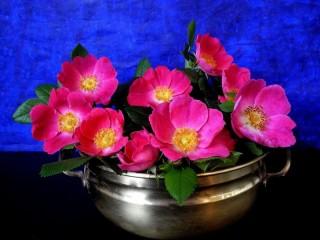 Собирать пазл Цветы шиповника онлайн