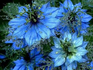 Собирать пазл Нигелла голубая  онлайн