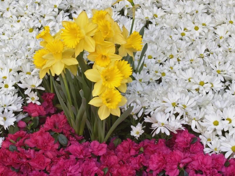 Пазл Собирать пазлы онлайн - Нарциссы в цветах