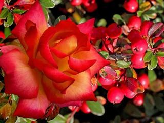 Собирать пазл Цветок и ягоды онлайн