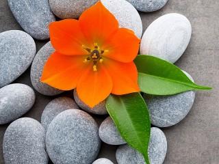 Собирать пазл Цветок на камнях онлайн