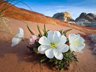 Собирать пазл Цветок пустыни онлайн