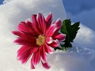 Собирать пазл Цветок в снегу онлайн