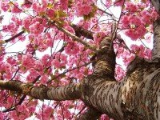 Собирать пазл Цветущая сакура онлайн
