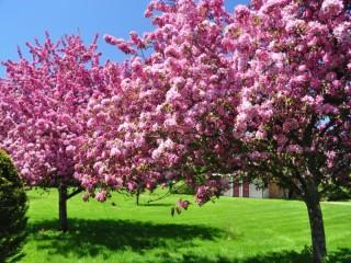 Собирать пазл Цветущие деревья онлайн