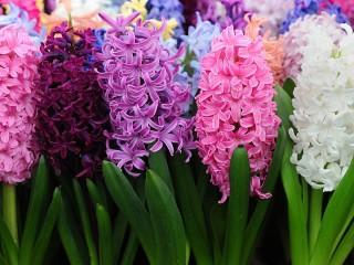 Собирать пазл Цветущие гиацинты онлайн