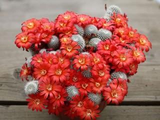 Собирать пазл Цветущий кактус онлайн