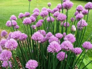 Собирать пазл Цветущий шнитт-лук онлайн