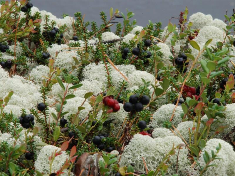 Пазл Собирать пазлы онлайн - Растения в тундре