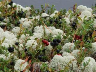 Собирать пазл Растения в тундре онлайн