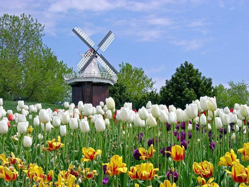 Пазл Собирать пазлы онлайн - Тюльпаны и мельница1