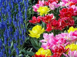 Собирать пазл Тюльпаны и мускари онлайн