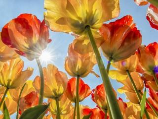 Собирать пазл Тюльпаны и солнце онлайн