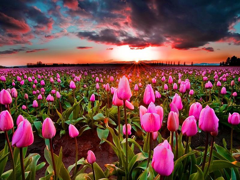Пазл Собирать пазлы онлайн - Тюльпаны на закате