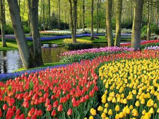 Собирать пазл Тюльпаны у ручья онлайн