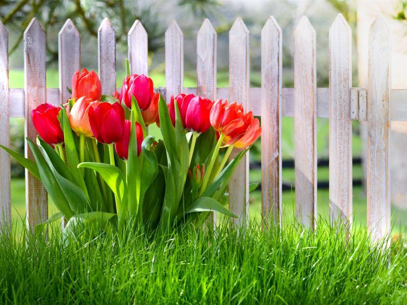 Пазл Собирать пазлы онлайн - Тюльпаны у забора