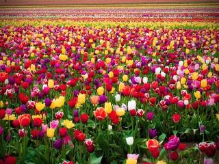 Собирать пазл Тюльпанное поле онлайн