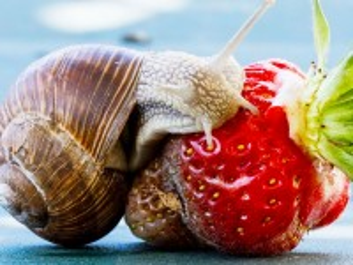 Собирать пазл Улитка и ягода онлайн