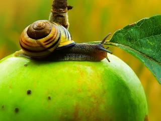Собирать пазл Улитка на яблоке онлайн