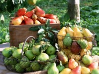 Собирать пазл Урожай груш онлайн