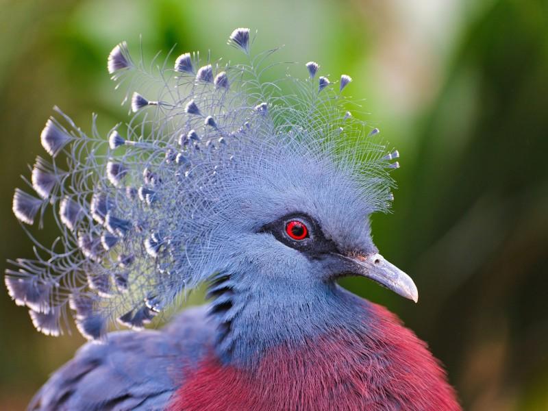 Пазл Собирать пазлы онлайн - Венценосный голубь