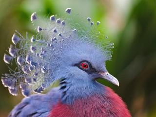 Собирать пазл Венценосный голубь онлайн