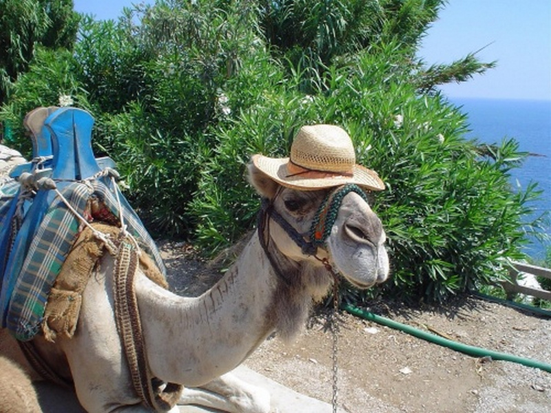 Пазл Собирать пазлы онлайн - Верблюд в шляпе