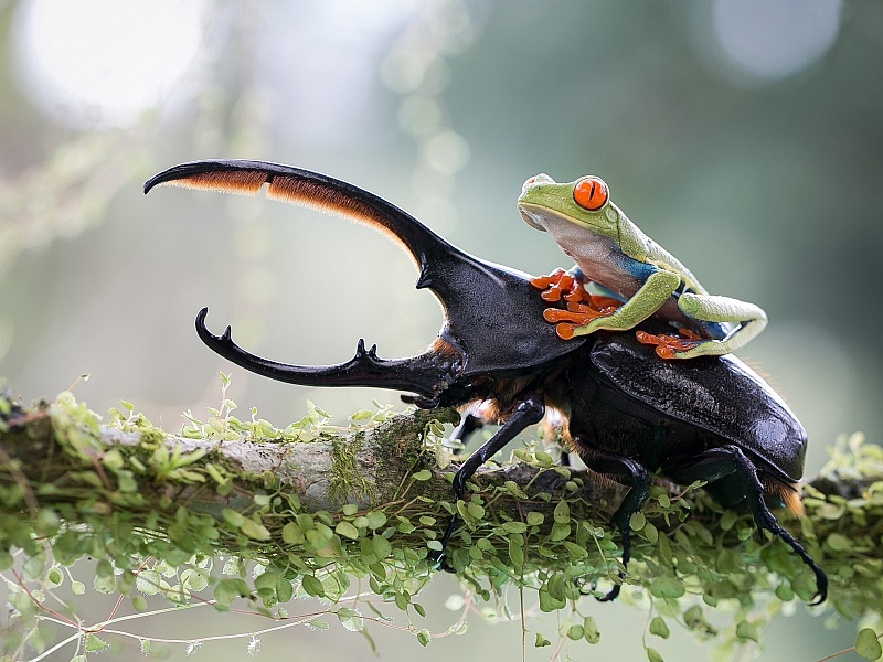 Пазл Собирать пазлы онлайн - Верхом на жуке