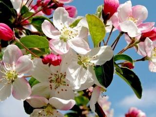 Собирать пазл Весенняя яблоня онлайн