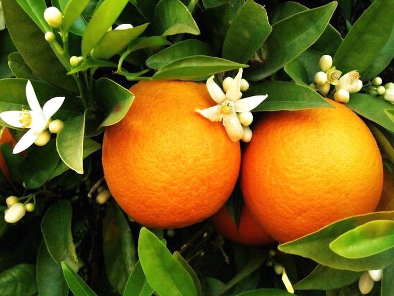 Пазл Собирать пазлы онлайн - Ветка апельсина