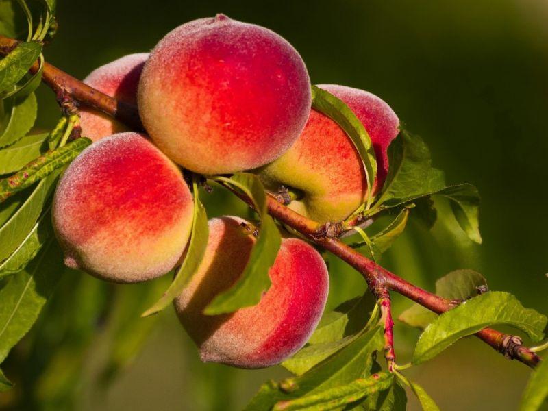 Пазл Собирать пазлы онлайн - Ветка персиков