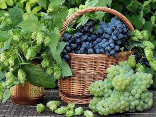 Собирать пазл Виноград и хмель  онлайн