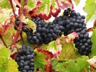 Собирать пазл Виноград и листья онлайн