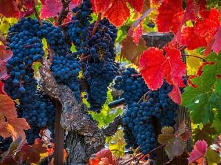 Собирать пазл Виноградная лоза онлайн