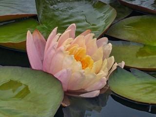 Собирать пазл Водяная лилия онлайн