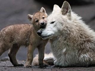 Собирать пазл Волчица и волчонок онлайн