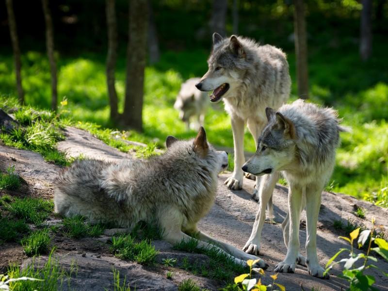 Пазл Собирать пазлы онлайн - Волчья стая