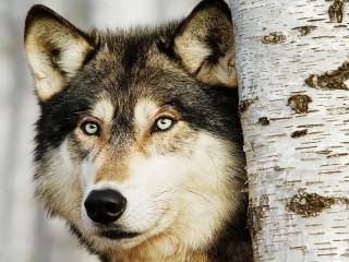 Собирать пазл Волк онлайн