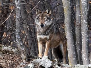 Собирать пазл Волк в лесу онлайн