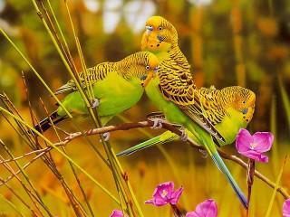 Собирать пазл Волнистые попугайчики онлайн