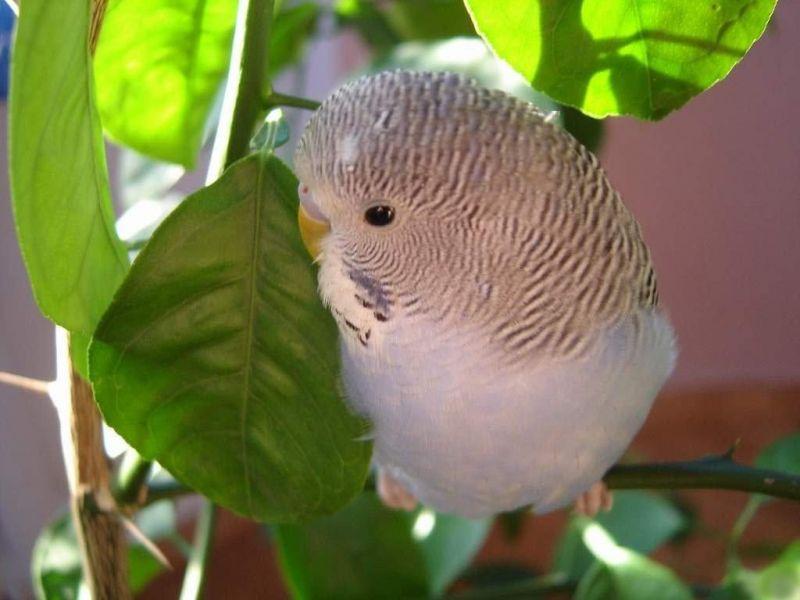 Пазл Собирать пазлы онлайн - Волнистый попугай