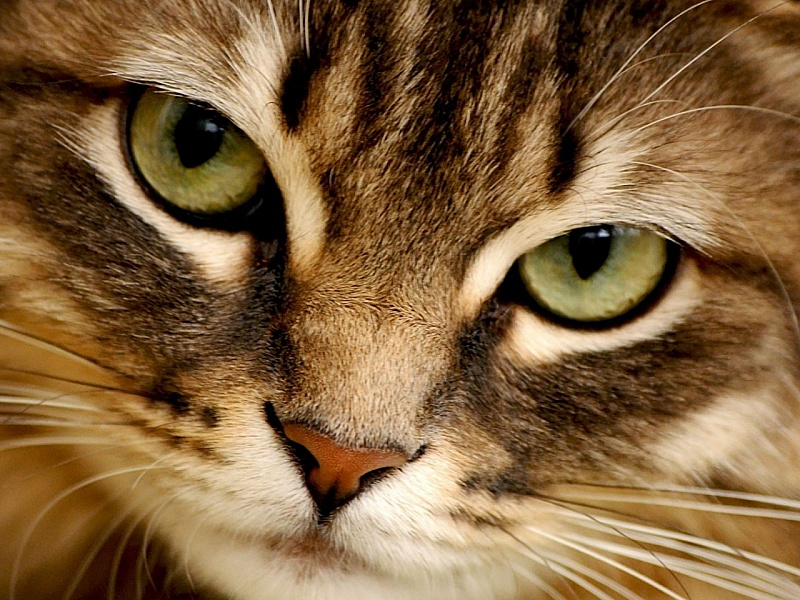 Пазл Собирать пазлы онлайн - Кошачий взгляд