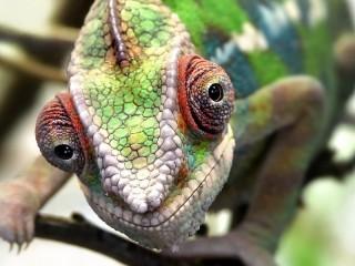 Собирать пазл Взгляд хамелеона онлайн