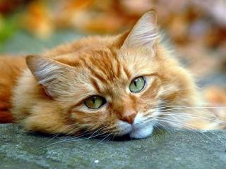 Собирать пазл Взгляд кошки онлайн