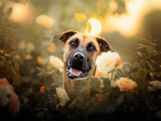 Собирать пазл Взгляд собаки онлайн