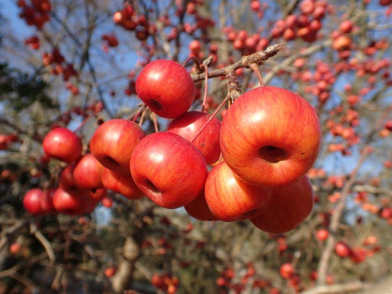 Пазл Собирать пазлы онлайн - Яблочки 1