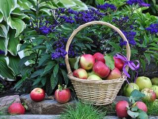 Собирать пазл Яблочки наливные онлайн